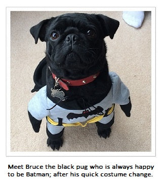 Bruce the Pug in his Batman Costume