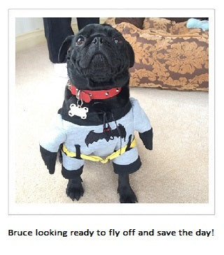 Black Pug named Bruce dressed as Batman