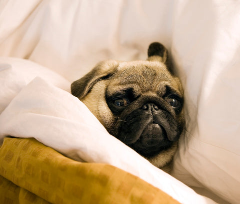 Fawn_Pug_in_bed_head_on_pillow_SmittenPets