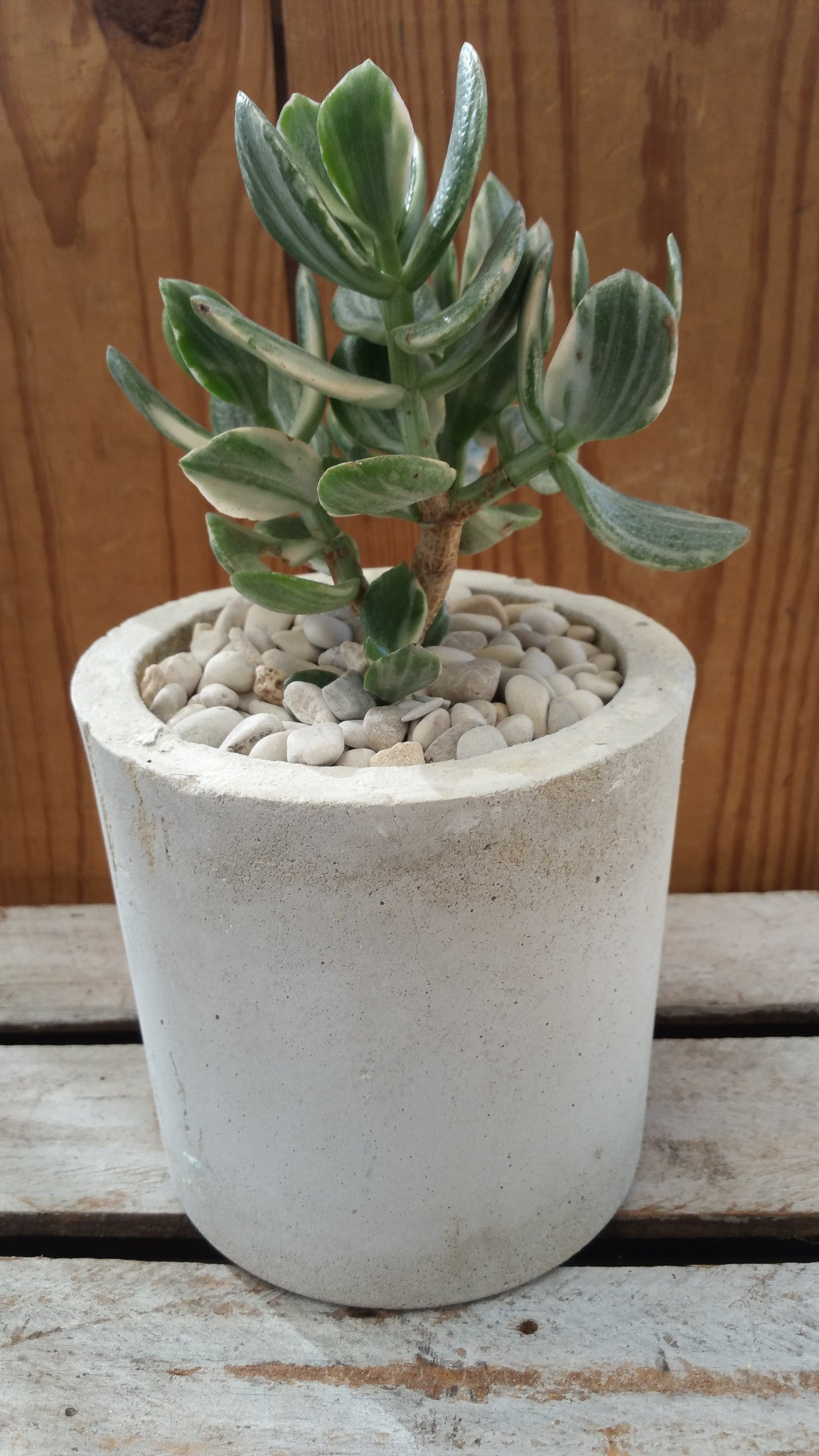 Raw concrete planters with succulents