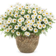 argyranthemum pure white butterfly