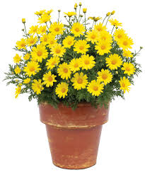 argyranthemum golden butterfly