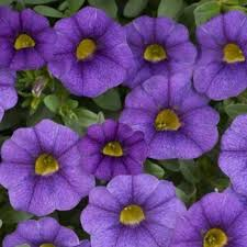 calibrachoa unique bleu