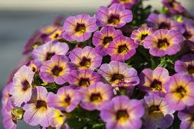 calibrachoa blueberry