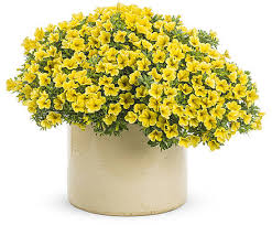 calibrachoa unique jaune