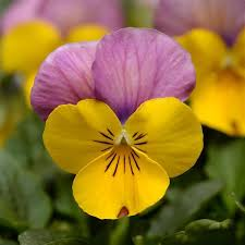 viola sorbet yellow pink jump up