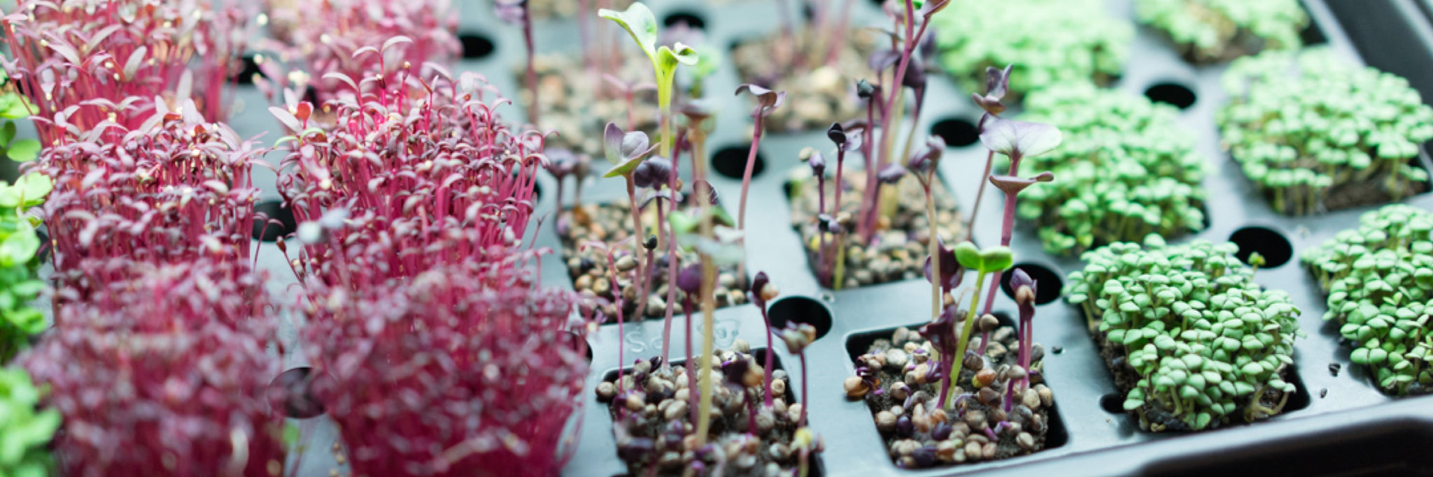 Sprouts vs. Cress vs. Microgreens vs. Baby Greens - What's the Difference?