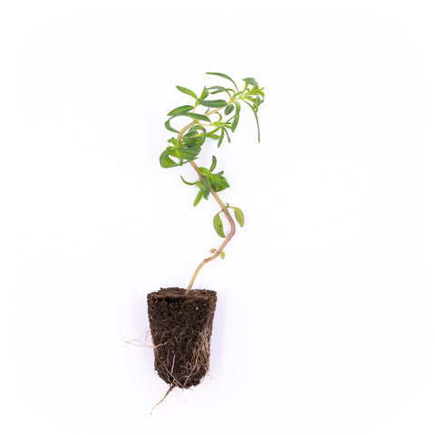 Summer Savory Seedling