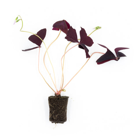 Purple Oxalis Triangularis Seedling