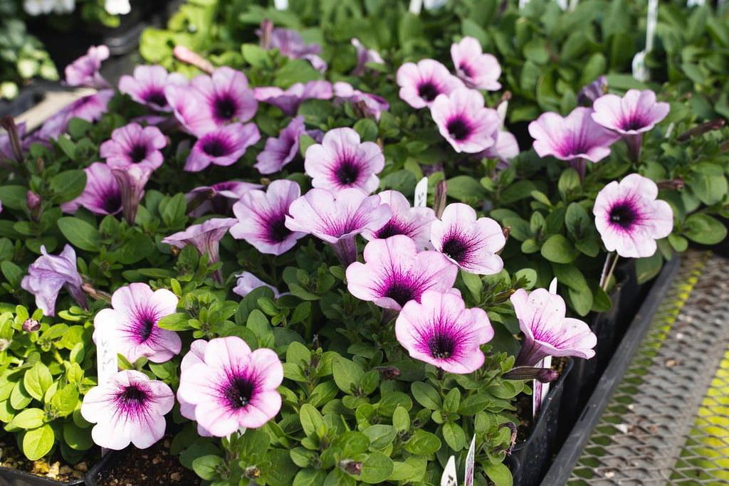 New Annuals + Hanging Baskets Arriving Soon