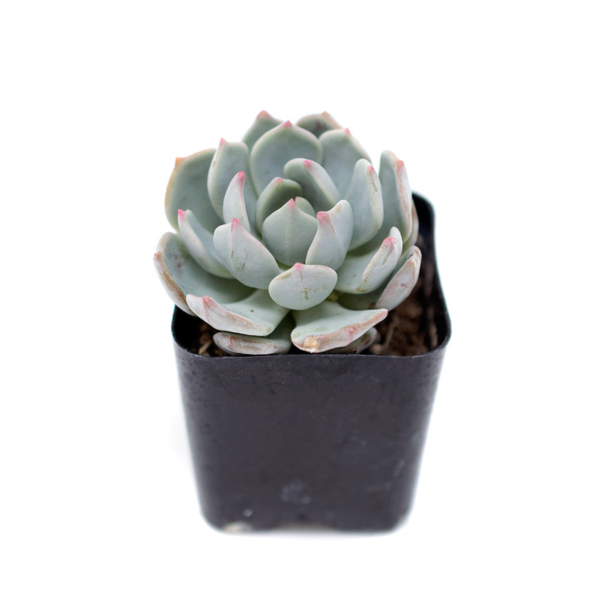 Small 2 inch Rosetta Echeveria succulent sold at Bear Valley Nursery