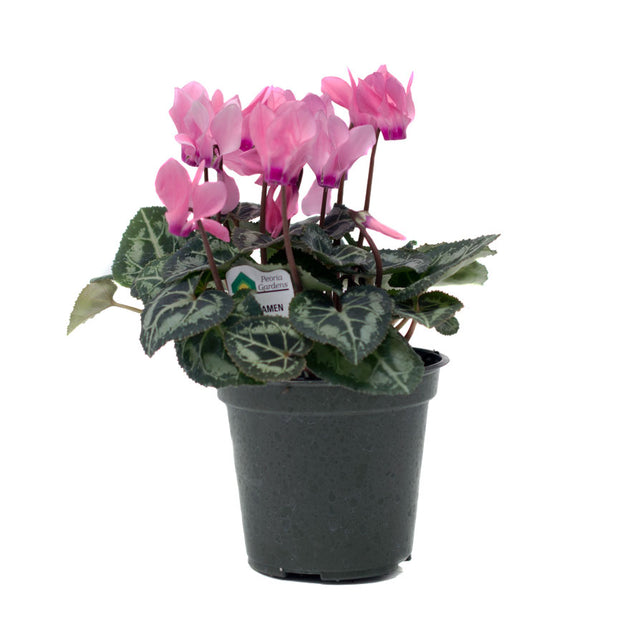 4 inch Cyclamen Christmas house plant sold at Bear Valley Nursery in Lincoln City