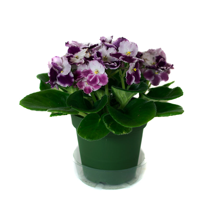 4 inch African Violet House Plant sold at Bear Valley Nursery in Lincoln City, Oregon