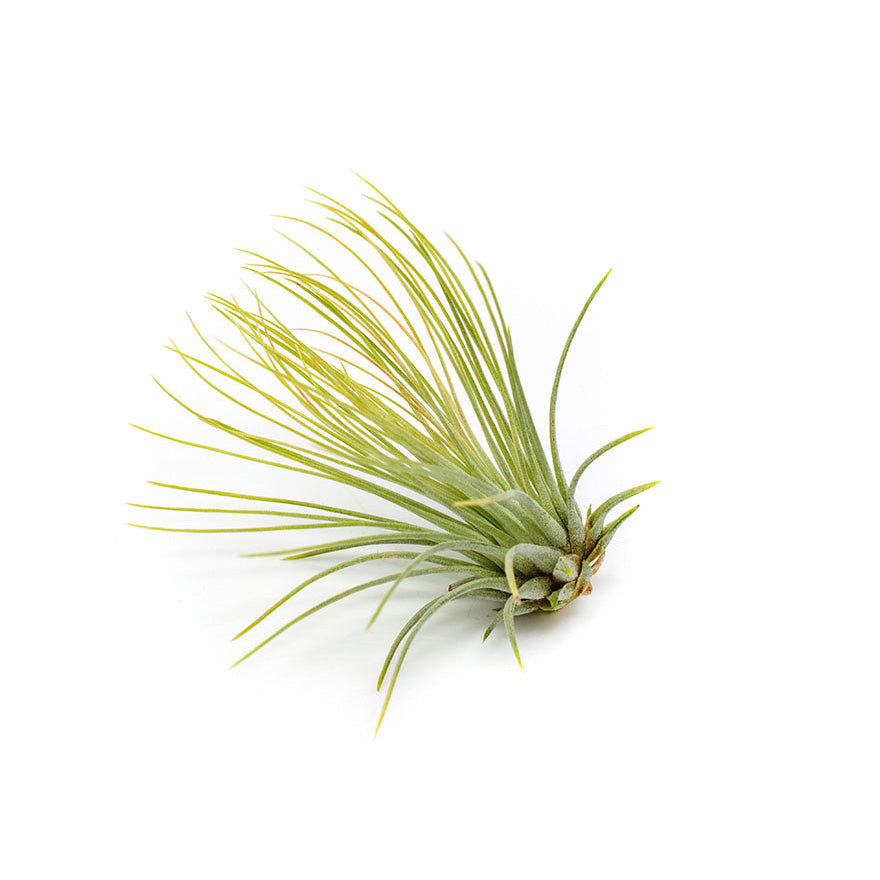 Small Andreana air plant sold at Bear Valley Nursery