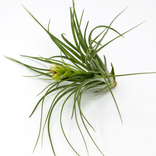 Medium sized stricta air plant with faded bloom