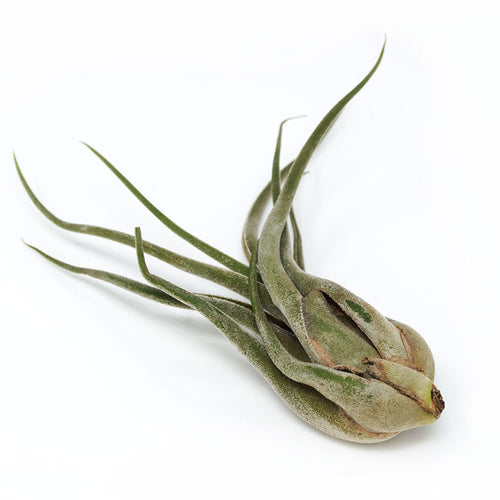 Medium Seleriana Air Plant sold at Bear Valley Nursery