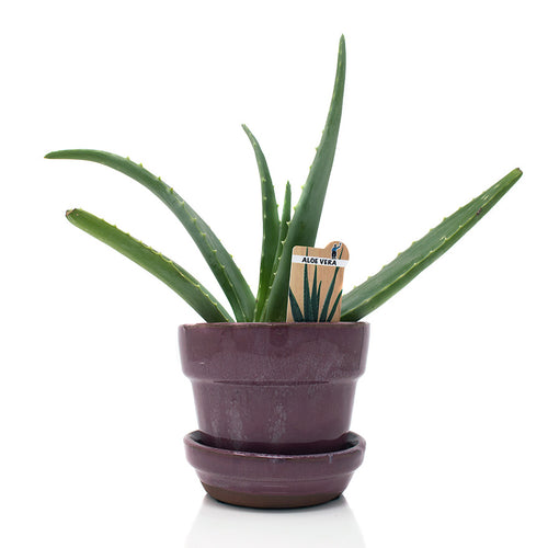 Aloe Vera 4 inch house plant sold at Bear Valley Nursery in Lincoln City