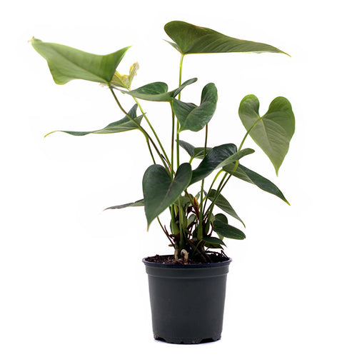 Anthurium House Plant sold at Bear Valley Nursery in Lincoln City