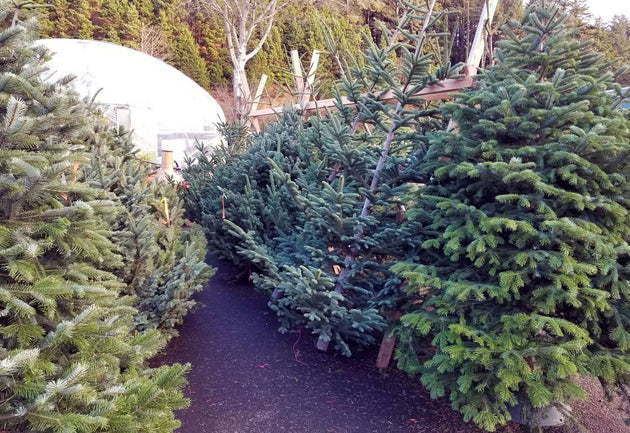 Large sized affordable Turkish fir Christmas tree sold at Bear Valley Nursery in Lincoln City, Oregon