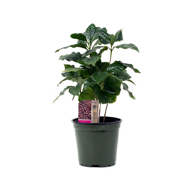 4 inch Coffee House Plant sold at Bear Valley Nursery