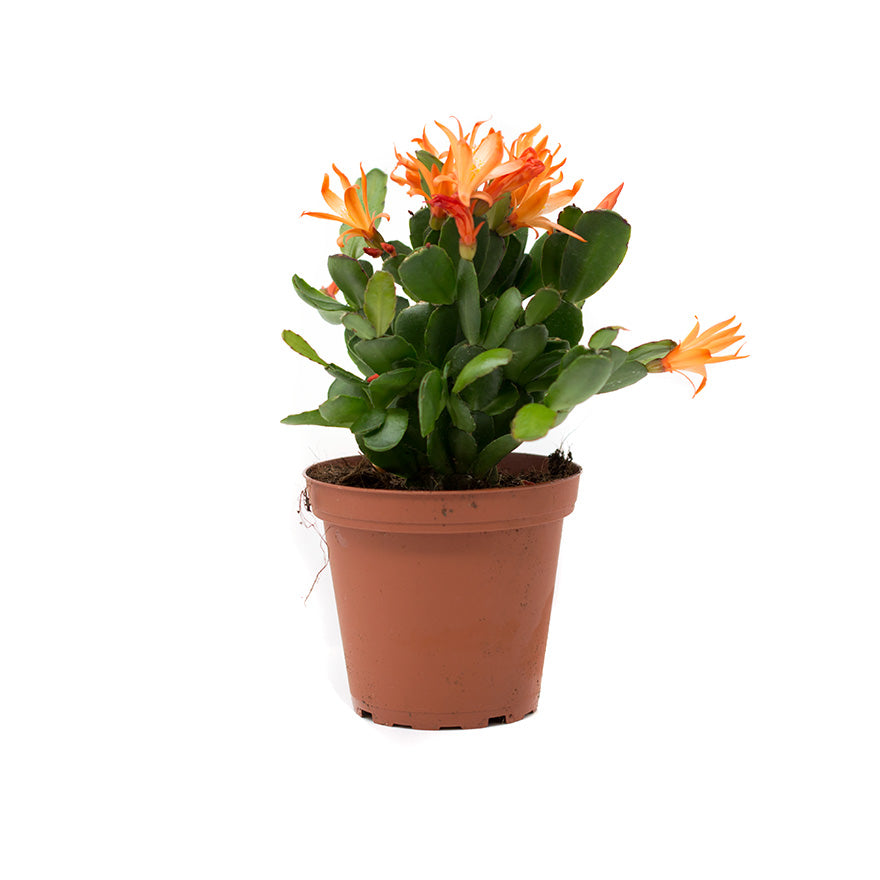 Pink Easter Cactus 4 inch house plant sold at Bear Valley Nursery