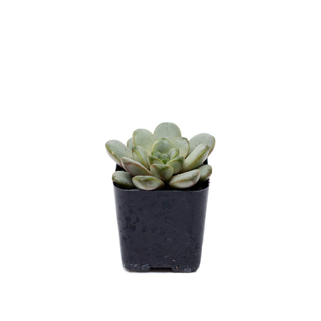 Small 2 inch echeveria succulent sold at Bear Valley Nursery