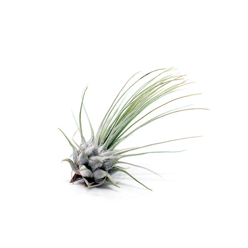 Small Fuschii Air Plant sold at Bear Valley Nursery