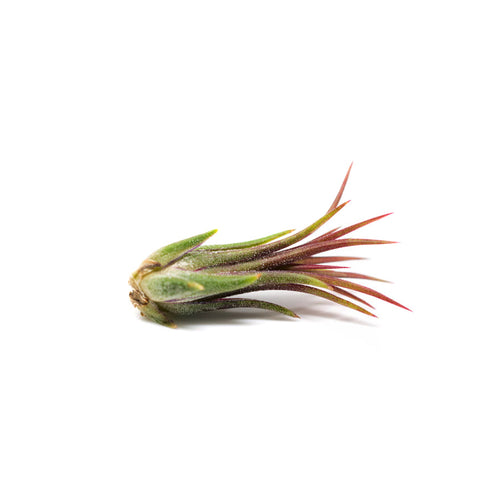 Very small Ionatha Feugo air plant sold at Bear Valley Nursery