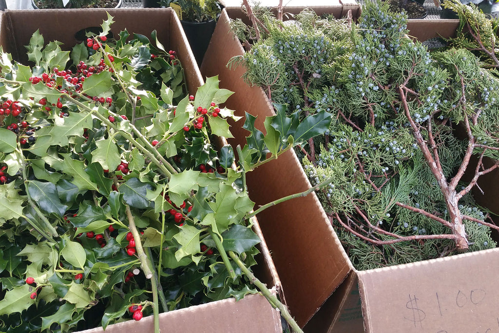 Juniper and holly cuttings with berries displayed for holiday greenery