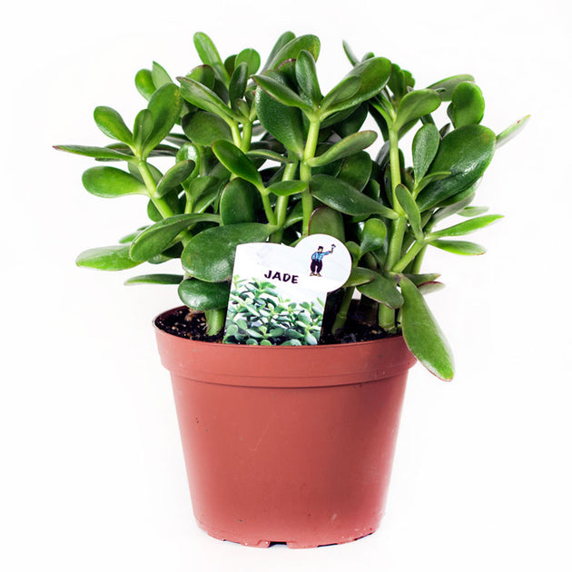Large 6 Inch Jade House Plant Sold at Bear Balley Nursery