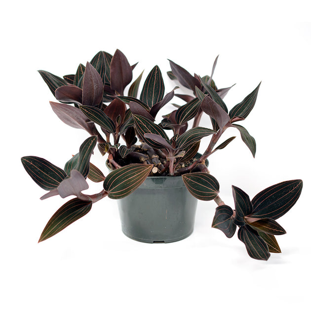 Jewel Orchid
