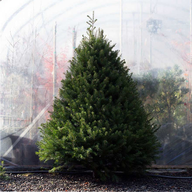 Large sized affordable Douglas fir Christmas tree sold at Bear Valley Nursery in Lincoln City, Oregon