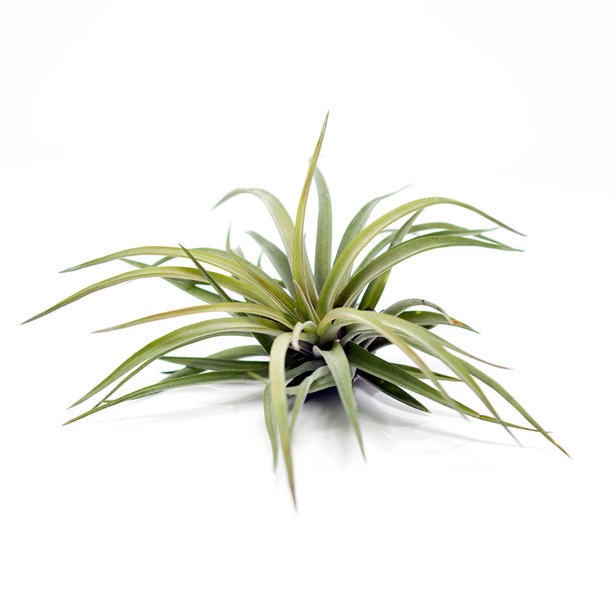 Large Velutina air plant for sale at Bear Valley Nursery