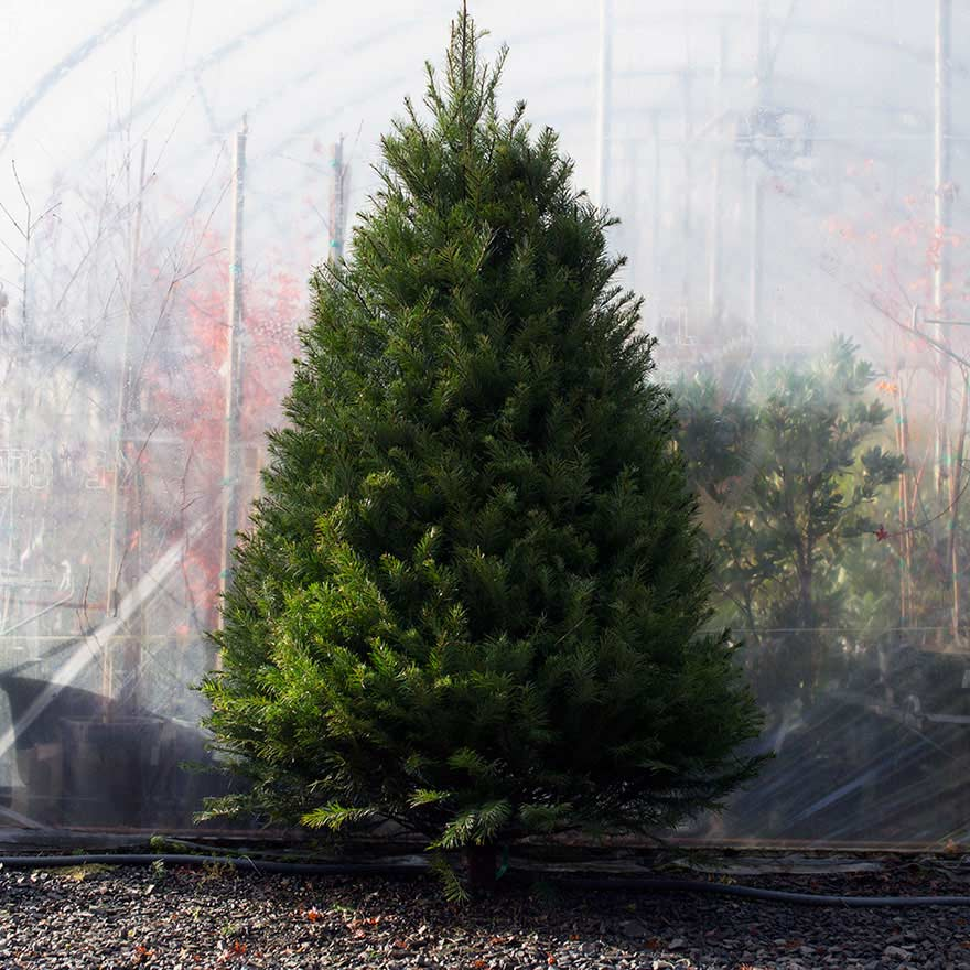 Medium sized affordable Douglas fir Christmas tree sold at Bear Valley Nursery in Lincoln City