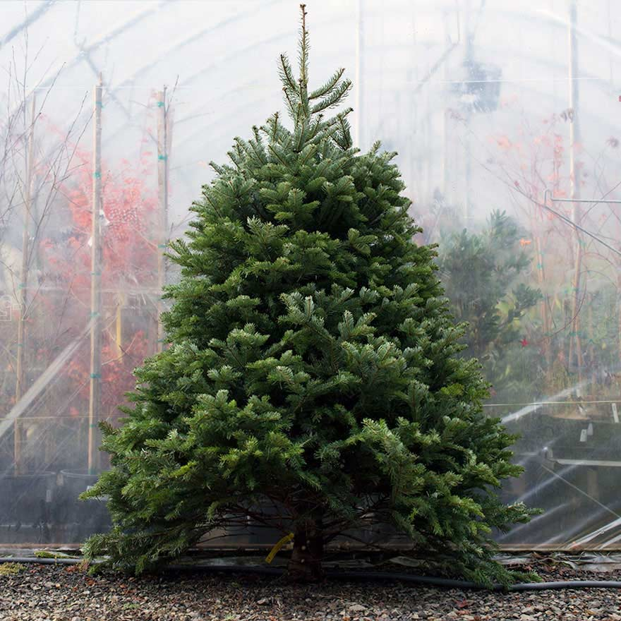 Medium sized affordable Turkish fir Christmas tree sold at Bear Valley Nursery in Lincoln City