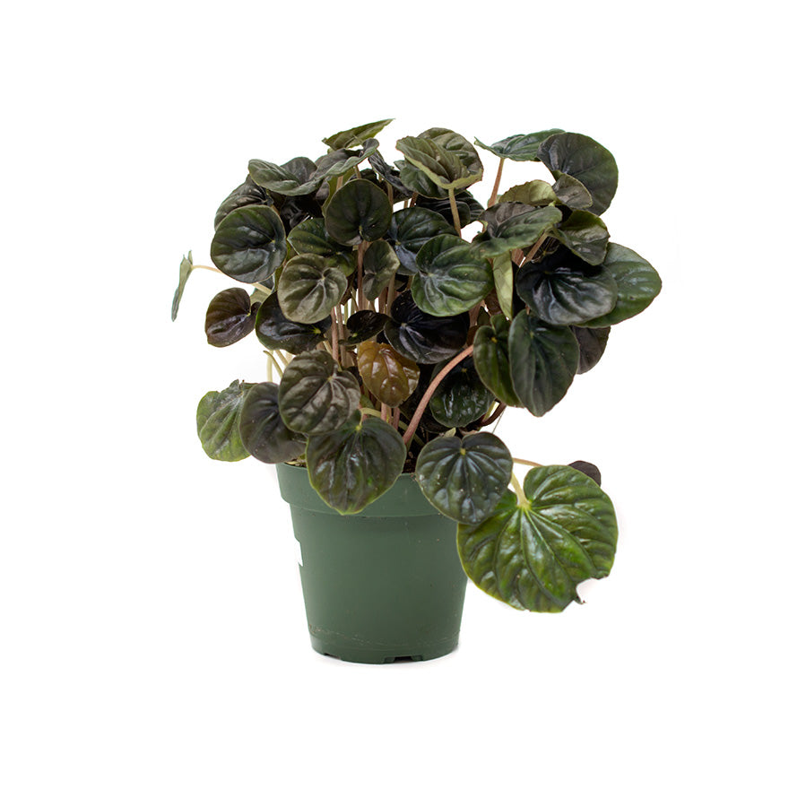 4 inch Peperomia house plant sold at Bear Valley Nursery