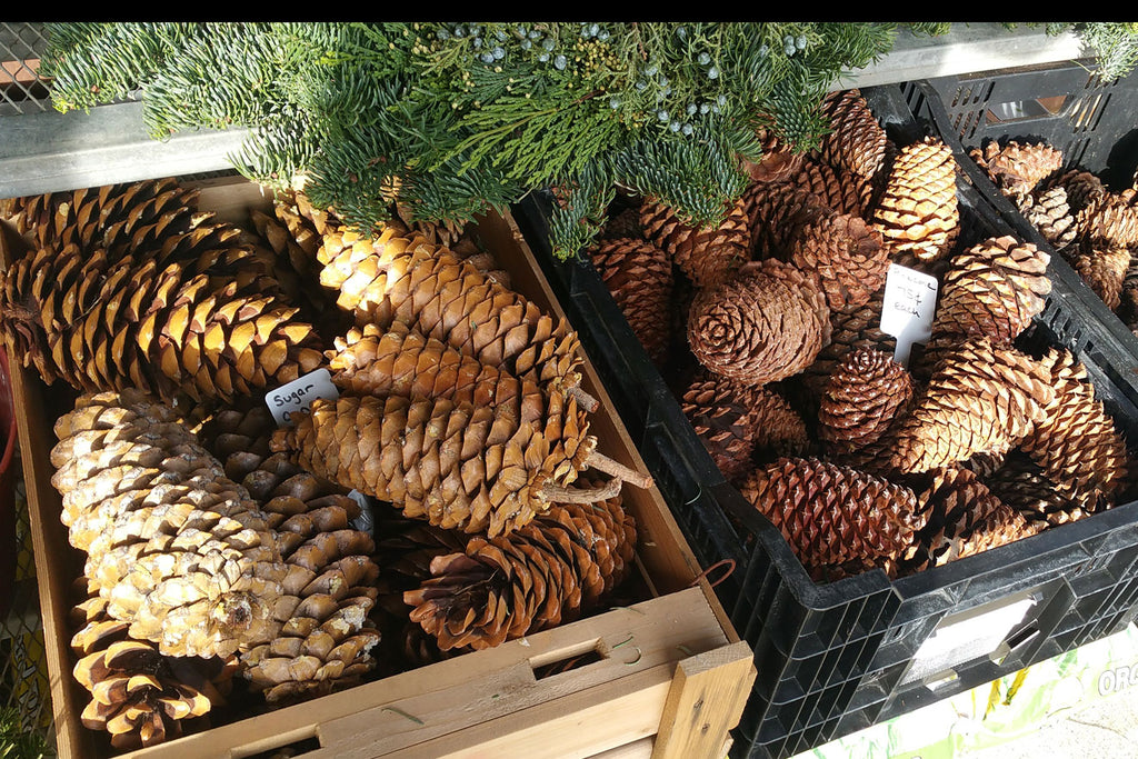 Large plain pine cones on display for holiday greenery