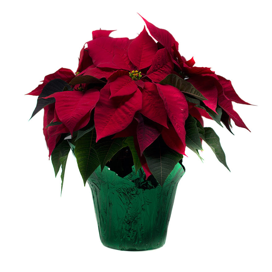 6inch sized Poinsettia house plant for Christmas sold at Bear Valley Nursery in Lincoln City