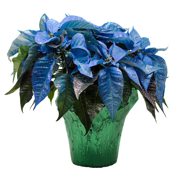 6inch sized blue sparkle Poinsetta for Christmas sold at Bear Valley Nursery in Lincoln City