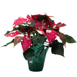 4inch sized Poinsettia house plant for Christmas sold at Bear Valley Nursery in Lincoln City