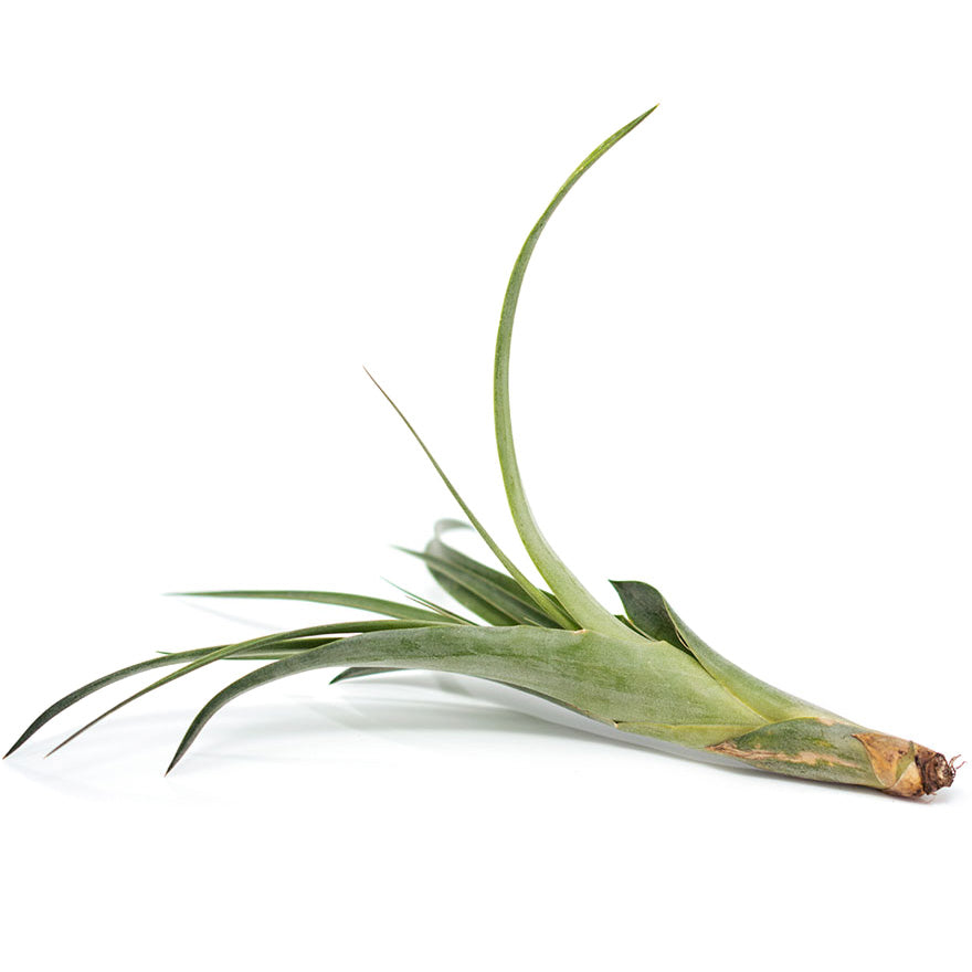 Large Polystachia air plant sold at Bear Valley Nursery