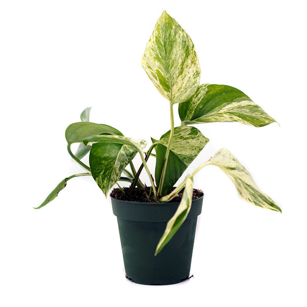 Variegated Pothos 4 inch house plant sold at Bear Valley Nursery