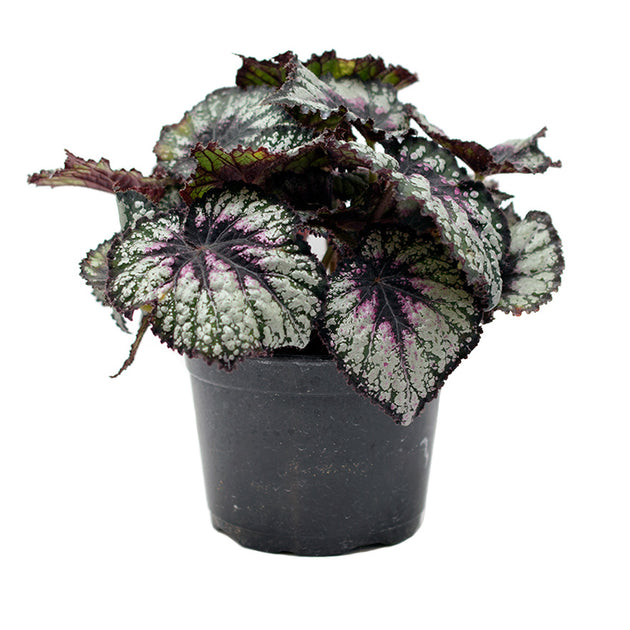 Rex Begonia House Plant sold at Bear Valley Nursery in Lincoln City