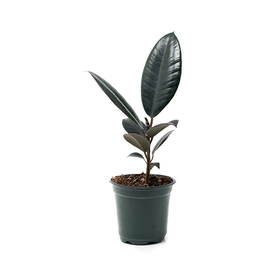 Rubber House Plant sold at Bear Valley Nursery