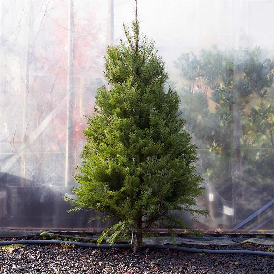 Small sized affordable Douglas fir Christmas tree sold at Bear Valley Nursery in Lincoln City