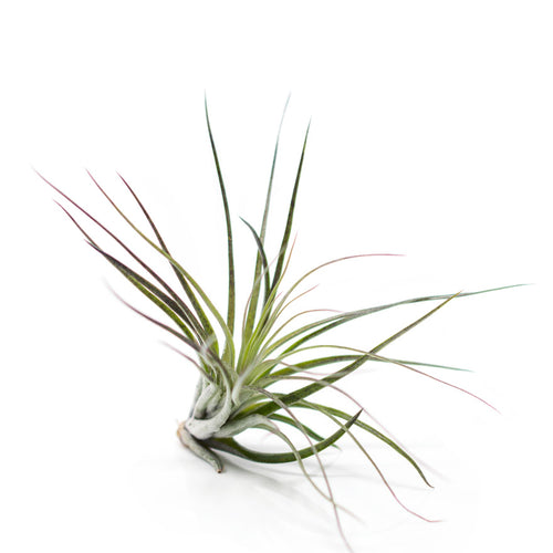 Stricta Black Tip air plant medium sized for sale at Bear Valley Nursery