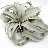 Medium sized xerographica tillandsia air plant