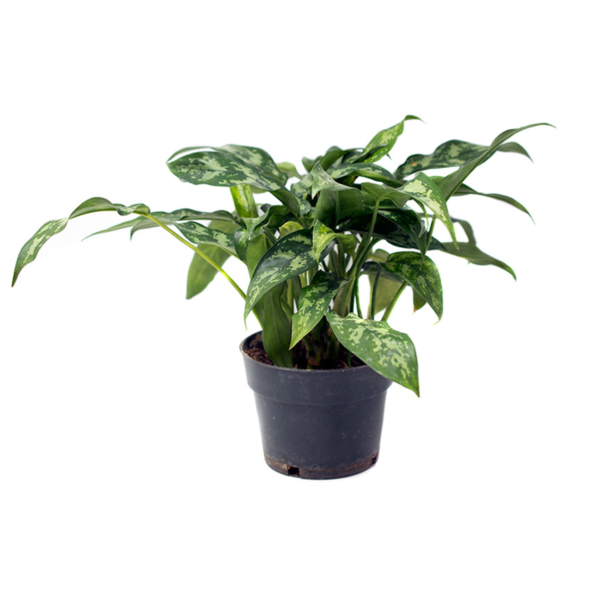 Dieffenbachia 6 inch House Plant sold at Bear Valley Nursery in Lincoln City, Oregon
