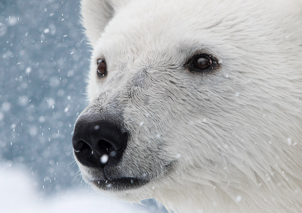 Face of the Arctic