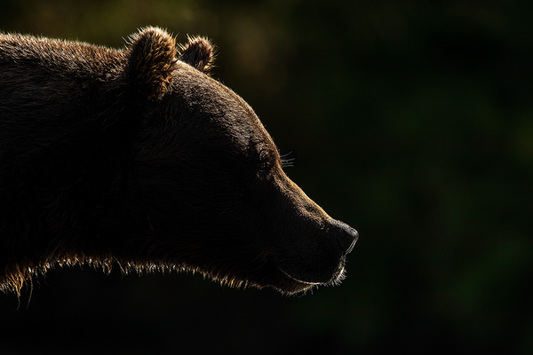 The Pensive Bear II